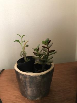 すくすく育っている多肉植物