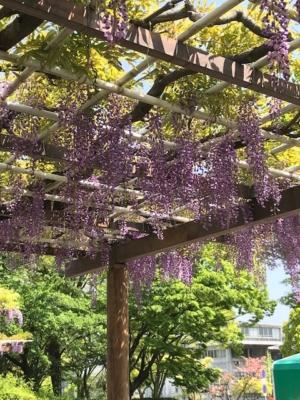 名古屋城 藤棚